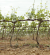 Early Season Vines